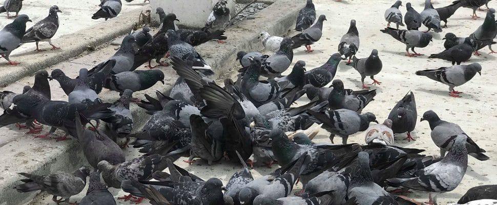 นกพิราบกับที่อยู่อาศัย - บริษัท ที.เอ.เน็ทติ้ง จำกัด